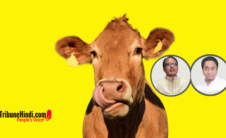 """मध्यप्रदेश में हो रही है """"गाय राजनीति"""""""